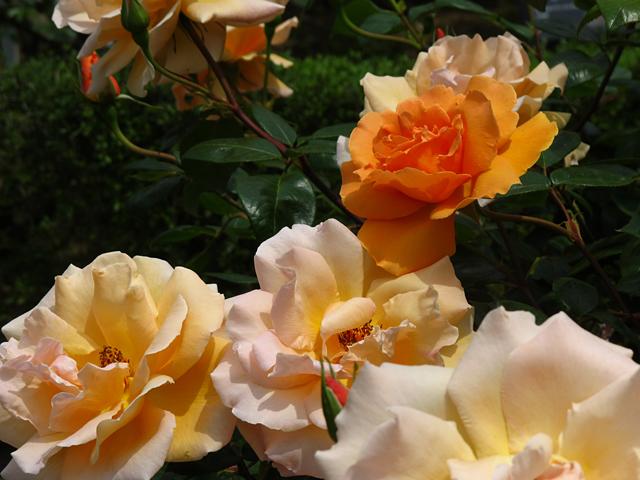 薔薇 ズブニールドアンネフランク☆旧古河庭園