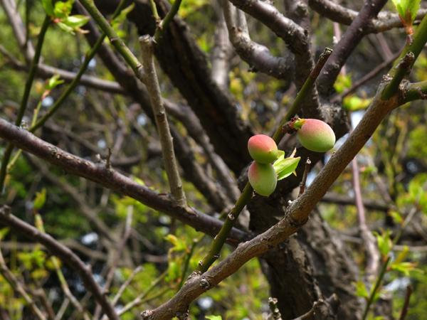 梅の実☆六義園