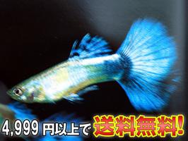 a6-1120(ダイヤモンドグッピー).jpg