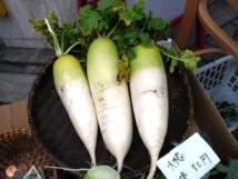 なにわ伝統野菜田辺大根