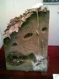 モグラの巣とナガエノスギタケ