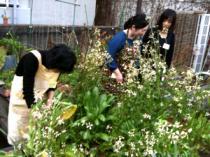 屋上菜園で収穫