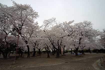 007-桜.jpg