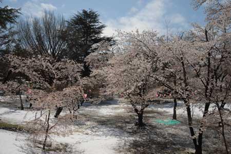 205-桜.jpg