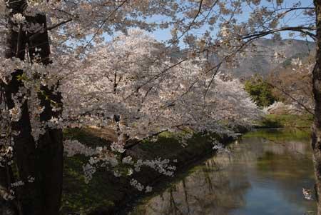 216-桜.jpg