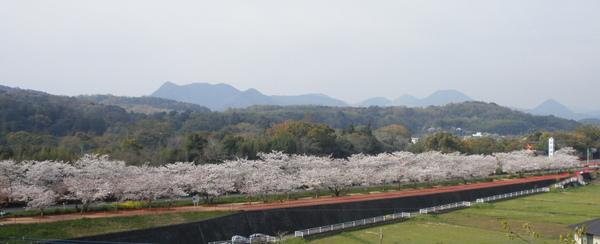 宇佐神宮の桜