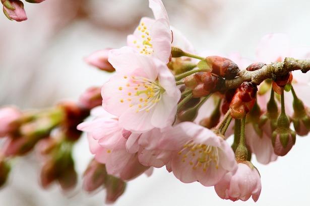 059桜.jpg