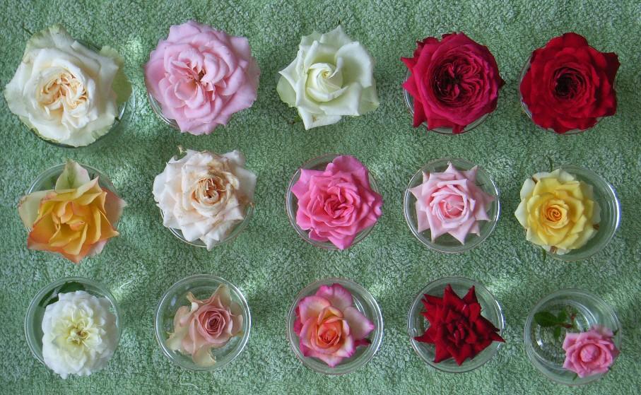 夏のミニバラ花径比較