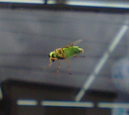 黄緑色のハエ