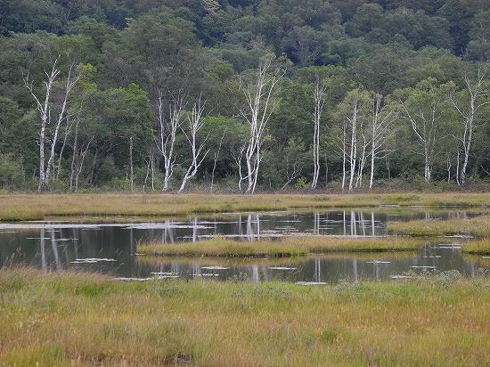尾瀬ヶ原・池塘とシラカバ02