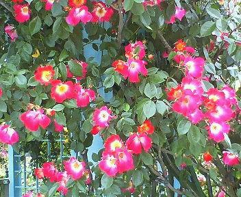 咲き乱れる赤いバラ