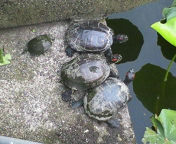 不忍池の亀が甲羅干しをしていた・・・。
