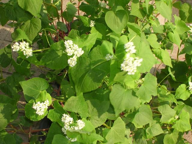 青々とした葉に可憐な白い花が真っ盛りです。
