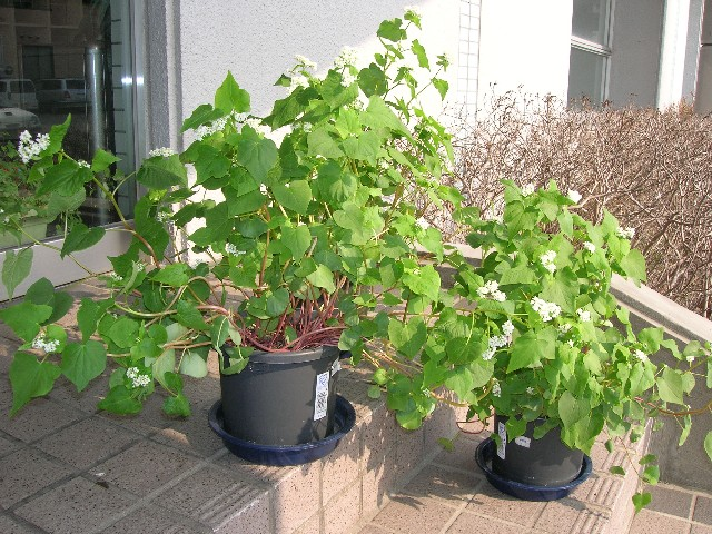 種を蒔いてからちょうど丸二月でこんなに成長しました