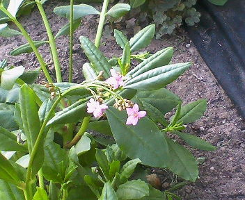 3時に咲く花(5時になって咲きました)