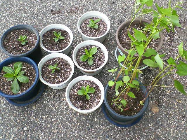 右側の二鉢がそば、残りの七鉢が3時に咲く花