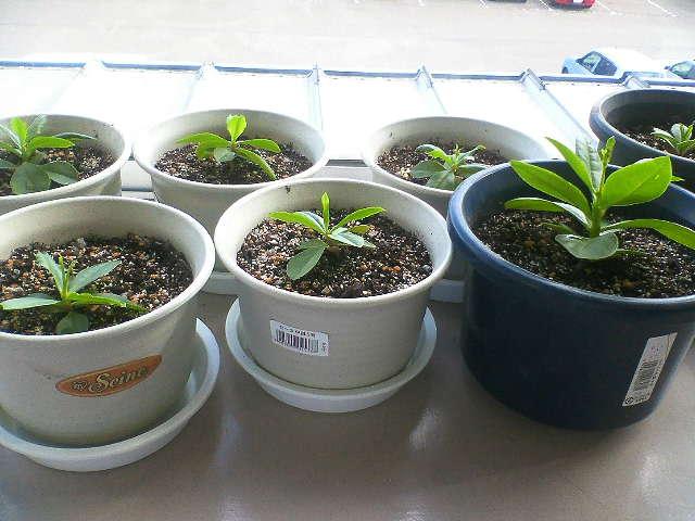 一株ずつ鉢に植え替えたのです。