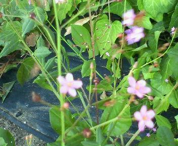 3時に咲く花