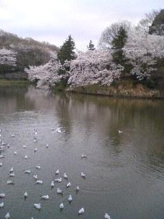 三ツ池の桜とユリカモメ