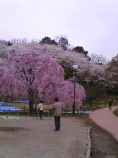 三ツ池の枝垂桜