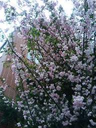 西新橋で見つけた桜