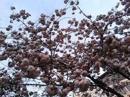 桜田公園の遅咲きの桜1