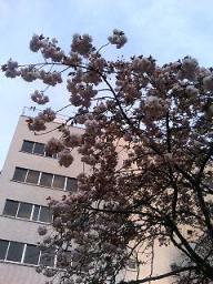 桜田公園の遅咲きの桜
