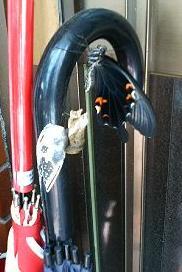 クロアゲハと傘(大きさ対比)