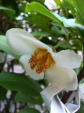 おみくじの樹の花