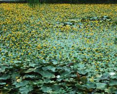 絶滅危惧の花、アサザ