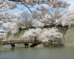 福井城本丸跡 桜の咲く頃