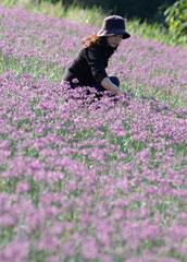 らっきょの花=見事な赤紫色のじゅうたん