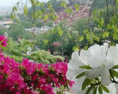 鯖江市西山公園はツツジの名所として知られています