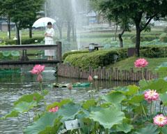 雨中で見る花ハス