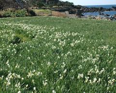 海岸沿いに咲く越前水仙