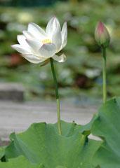 新品種のハスの花「勾当玉女(こうとうのぎょくじょ)」