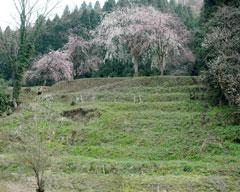 南陽寺跡の糸桜