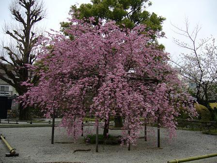 枝垂れ桜・枳穀邸正面