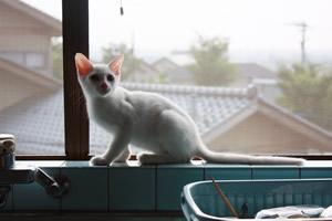 窓際の美猫