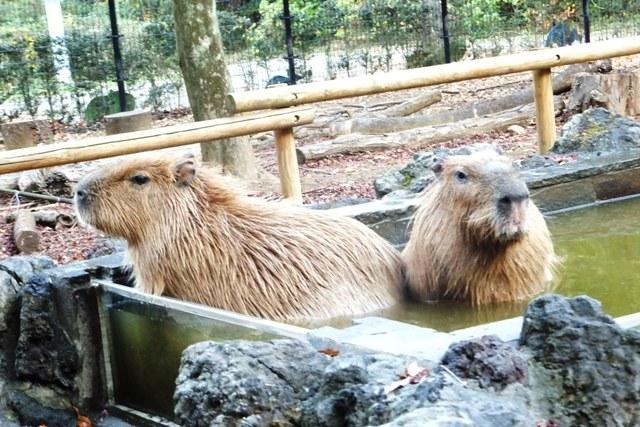 カピバラ温泉2.jpg