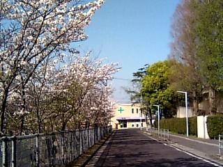 養護学校桜並木
