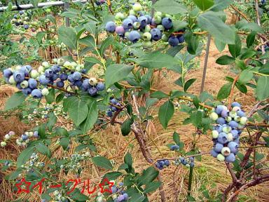 ブルーベリー畑3