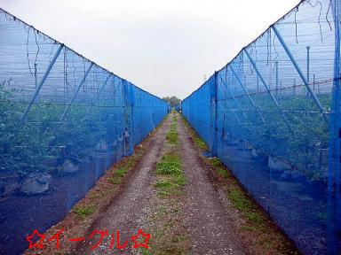 ブルーベリー畑5