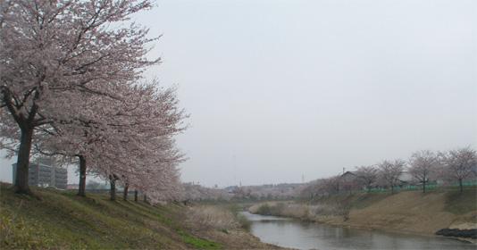 平成21年4月12日撮影 (平成9年11月植樹)