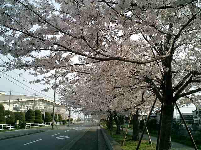桜通り沿い