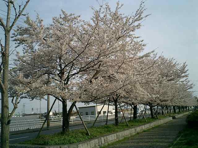 桜通り沿い2