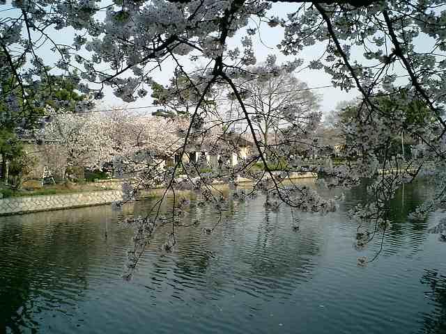 桜九華公園外から