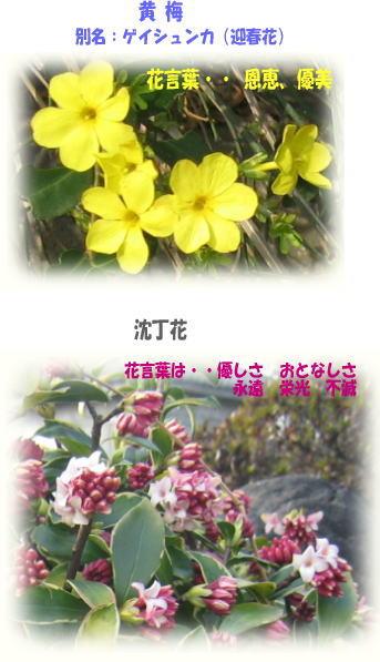 黄梅・沈丁花