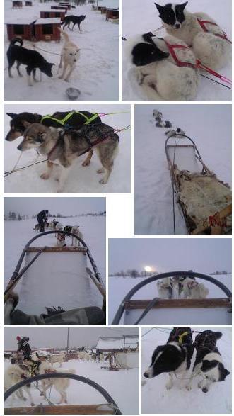 犬ぞり体験