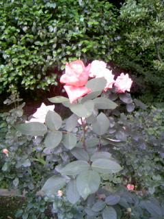 庭園 バラ.JPG